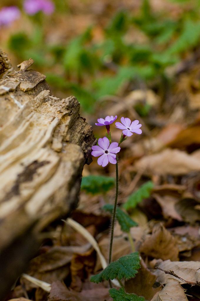 울산의 꽃들 - 앵초