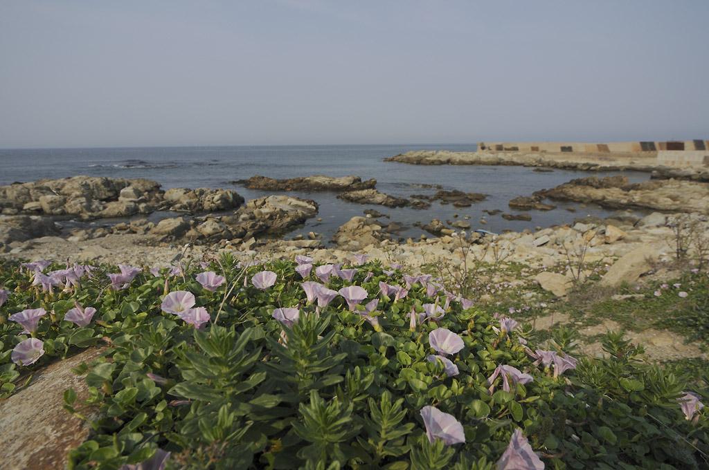 포항의 꽃들 - 갯메꽃