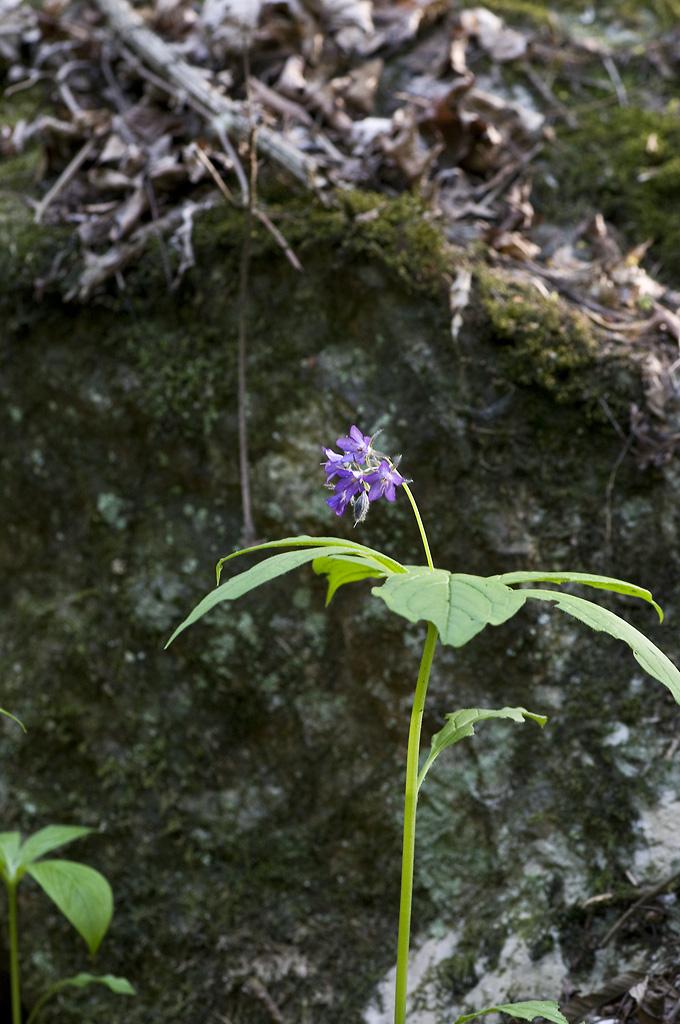 천마산의 꽃들 - 당개지치
