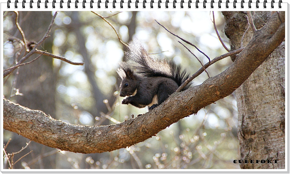 Korean squirrel-靑鼠-청설모-청서