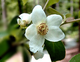 노각나무꽃