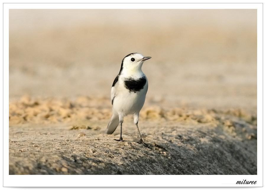 포항의 새들 - 알락할미새