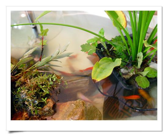 아기목욕통에 옮긴 금붕어들, 왼쪽것들은 주말에 무단으로 데려온 이끼, 돌덩이, 이름모르는 수생색물